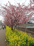 桜と菜の花1.jpg
